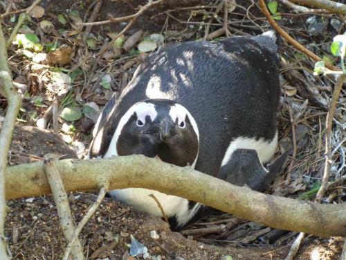 南アフリカのケープペンギン (2)