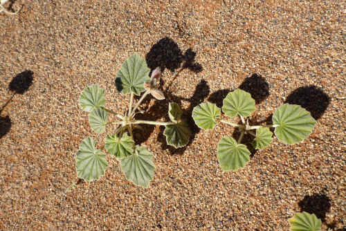 ナミビアナミブ砂漠2 (21)