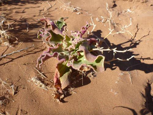 ナミビアナミブ砂漠2 (27)