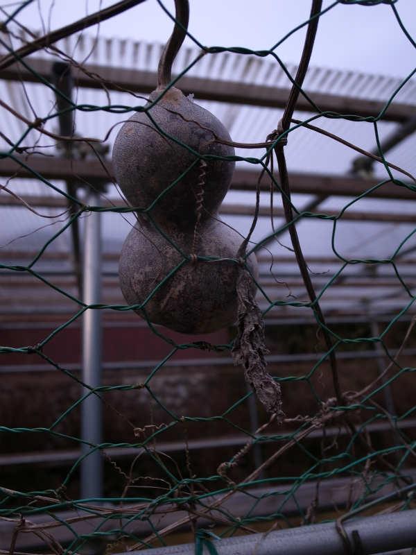 大根やかぶやジャガイモの収穫 (3)