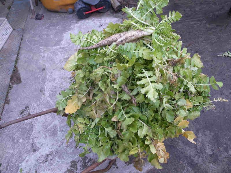 大根やかぶやジャガイモの収穫 (1)