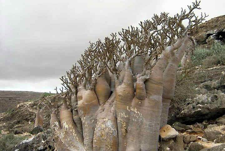 私が死ぬまでに行きたい絶景3:イエメンのソコトラ島「インド洋のガラパゴス」 (3)