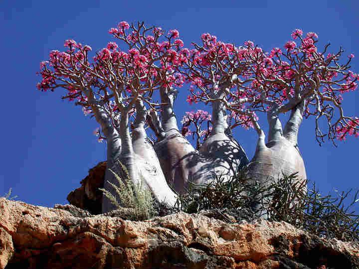 私が死ぬまでに行きたい絶景3:イエメンのソコトラ島「インド洋のガラパゴス」 (2)