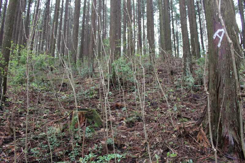 [山菜取り]タラの芽より「コシアブラ」のてんぷらの方がおいしい!愛知県では「灯台の芽」と呼ばれているよ (5)