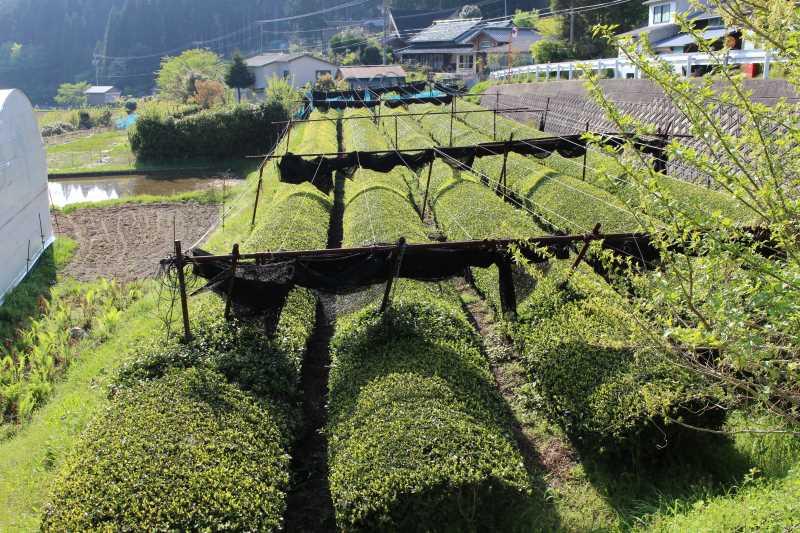 鈴木製茶のお茶工場を見学して、茶葉の作り方を聞いてきたよ!(新城市作手田代) (19)