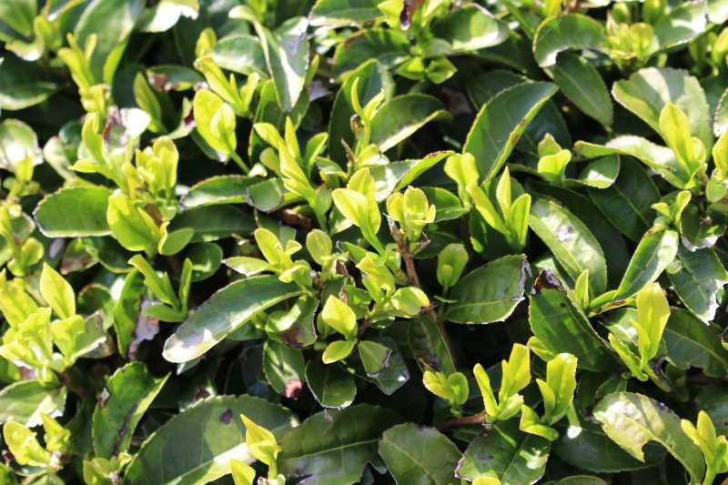 鈴木製茶のお茶工場を見学して、茶葉の作り方を聞いてきたよ!(新城市作手田代) (18)