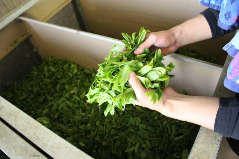 鈴木製茶のお茶工場を見学して、茶葉の作り方を聞いてきたよ!(新城市作手田代) (4)
