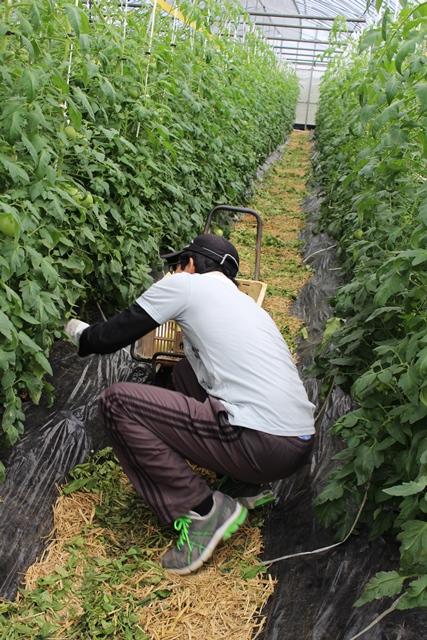 [桃太郎トマトの育て方]収獲を開始して売れないトマトの多さにびっくり!収穫時期は6月下旬から (1)