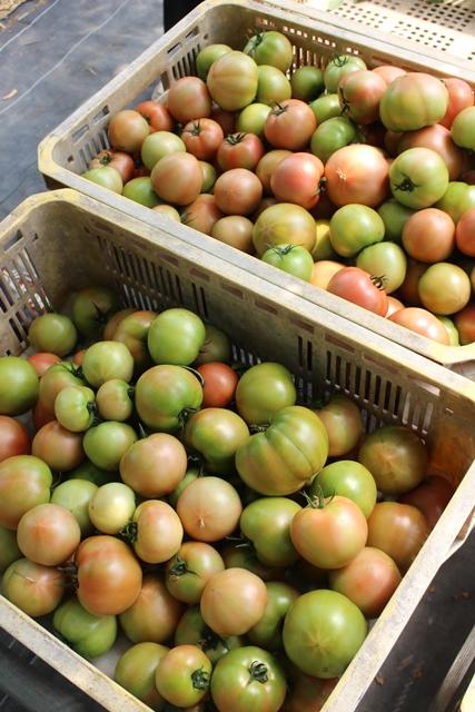 [桃太郎トマトの育て方]収獲を開始して売れないトマトの多さにびっくり!収穫時期は6月末から (2)