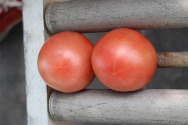 [桃太郎トマトの育て方]収獲を開始して売れないトマトの多さにびっくり!収穫時期は6月末から (4)