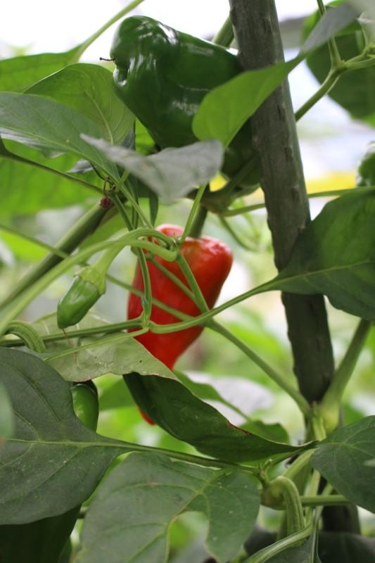 緑ピーマンが苦い理由は熟していないからで、甘みがあるのは赤ピーマンという衝撃の事実