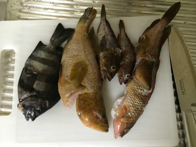 福井で魚突き!80cm弱の真鯛と40cm強の石鯛とキジハタとったどー!! (22)