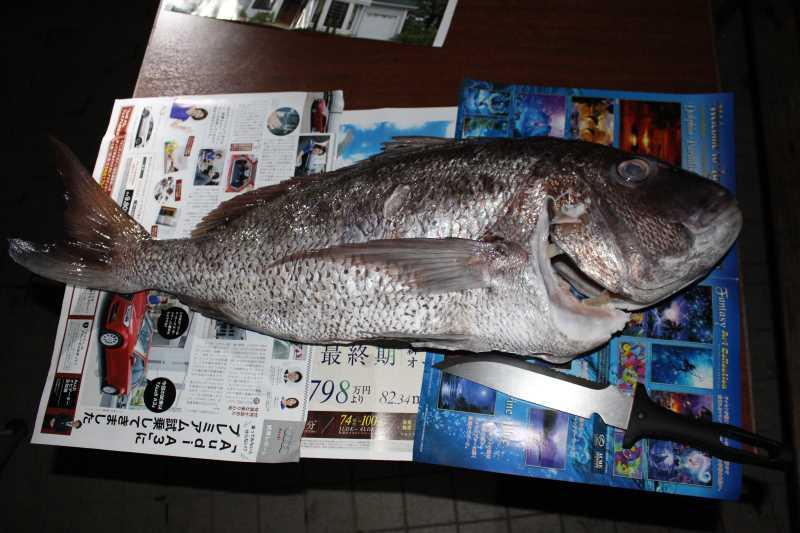 福井で魚突き!80cm弱の真鯛と40cm強の石鯛とキジハタとったどー!! (19)