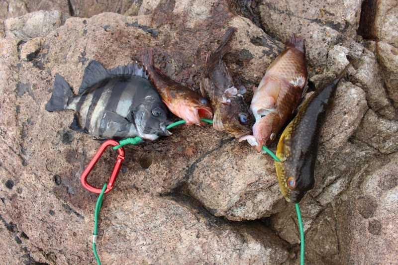 福井で魚突き!80cm弱の真鯛と40cm強の石鯛とキジハタとったどー!! (12)