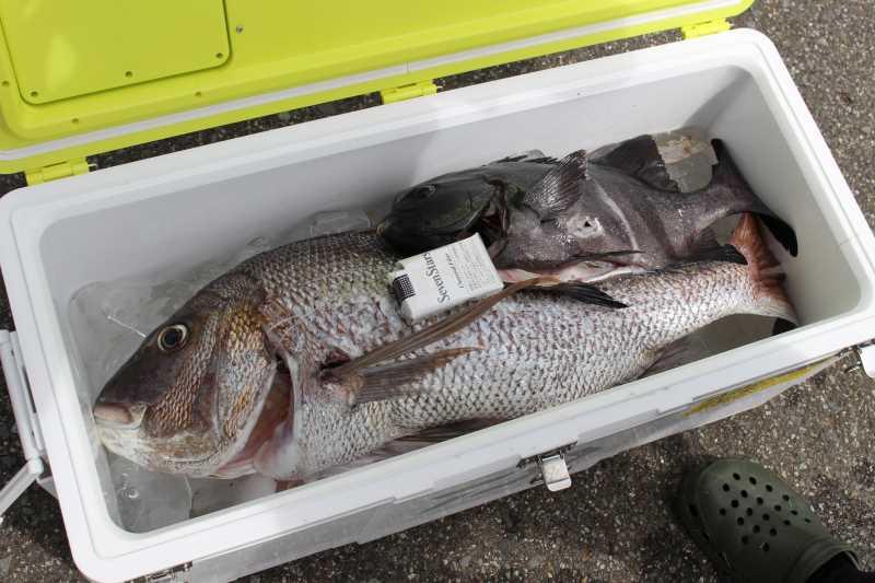 福井で魚突き!80cm弱の真鯛と40cm強の石鯛とキジハタとったどー!! (10)