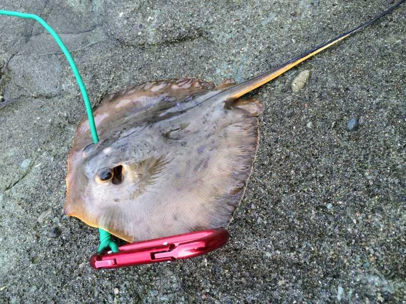 福井で魚突き!80cm弱の真鯛と40cm強の石鯛とキジハタとったどー!! (14)