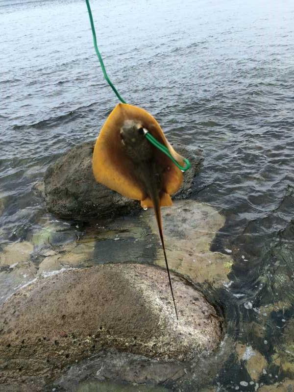 福井で魚突き!80cm弱の真鯛と40cm強の石鯛とキジハタとったどー!! (16)