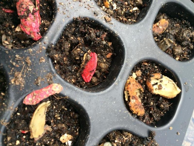 【珍しい野菜栽培】5.レア野菜のタネを植えたら、とんでもないことに・・・ (2)