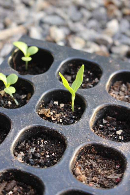 【珍しい野菜栽培】7.順調に育っている野菜があれば、発芽しない野菜も・・・ (3)