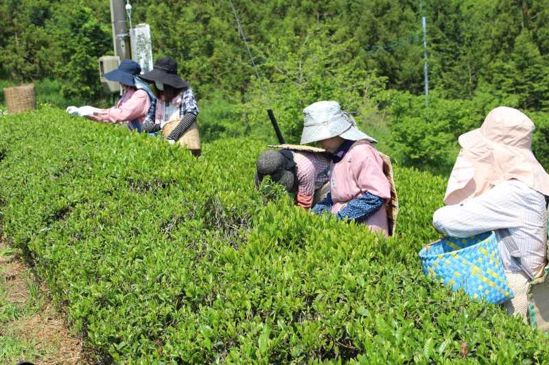 有機栽培されたお茶を手摘みしてきたよ!【愛知県新城市鈴木製茶】 (1)