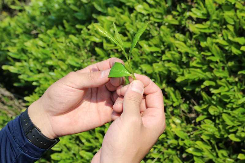 有機栽培されたお茶を手摘みしてきたよ!【愛知県新城市鈴木製茶】 (5)