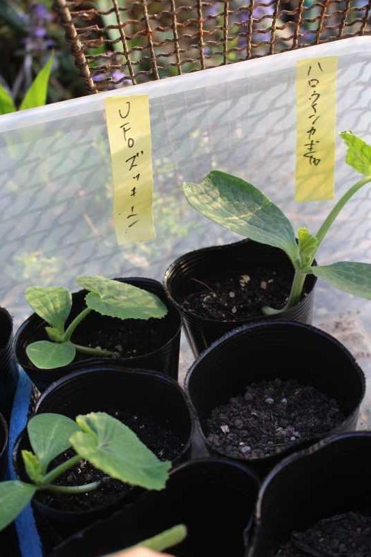 【珍しい野菜栽培】7.順調に育っている野菜があれば、発芽しない野菜も・・・ (4)