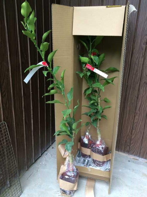 花粉症対策の食べ物「ジャバラ」の苗を植えたよ!【ミカン属の柑橘類】 (1)