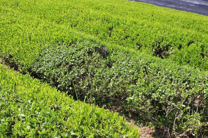有機栽培されたお茶を手摘みしてきたよ!【愛知県新城市鈴木製茶】 (9)