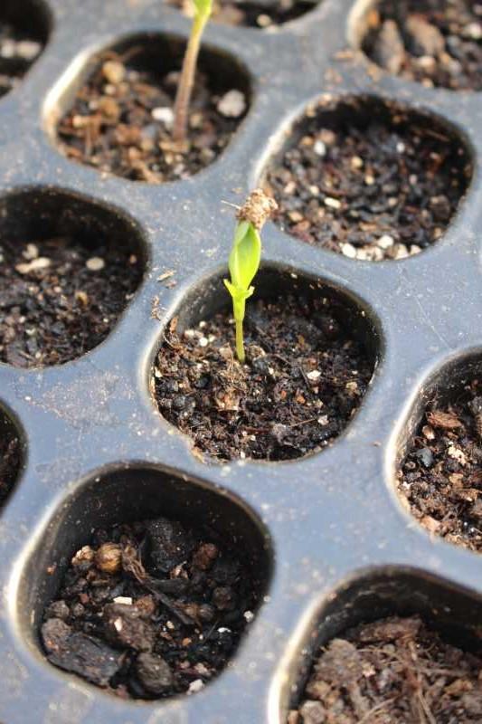 【珍しい野菜栽培】7.順調に育っている野菜があれば、発芽しない野菜も・・・ (2)