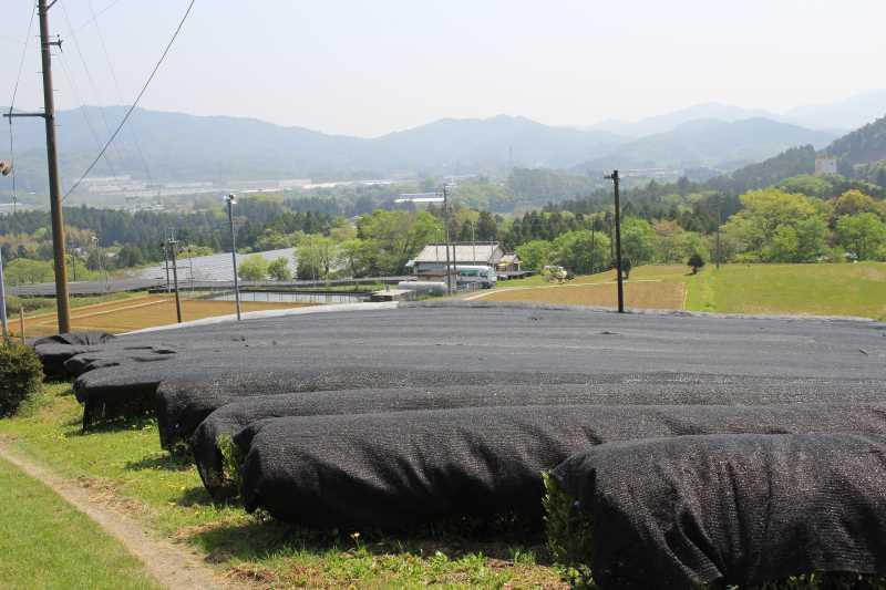 有機栽培されたお茶を手摘みしてきたよ!【愛知県新城市鈴木製茶】 (11)
