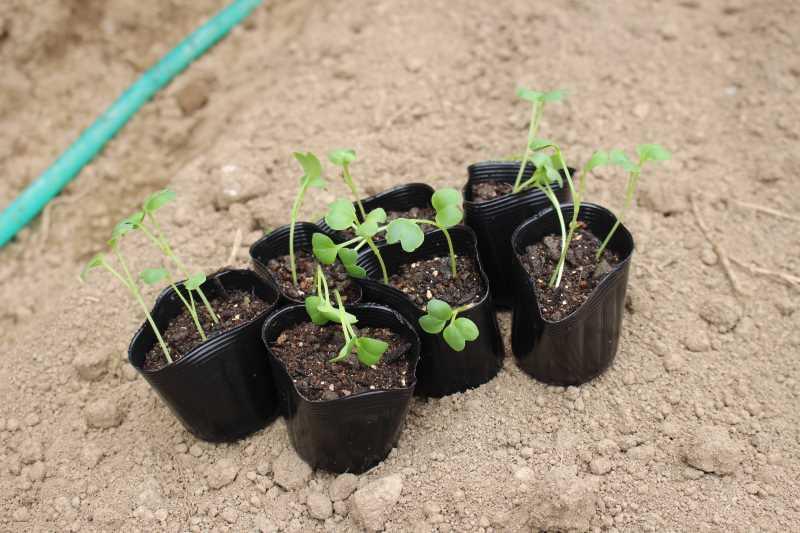 【珍しい野菜栽培】10.珍しい野菜が発芽しないので、珍しくない野菜も育てることにした (2)