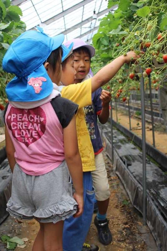 園児のイチゴ狩り体験のお手伝い【愛知県新城設楽4Hクラブ】 (7)