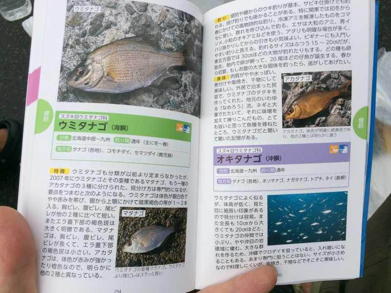 魚突き(スピアフィッシング)をしに福井県越前や三国へ!クロウシノシタ、メジナ、ウミタナゴ獲ったど~! (5)