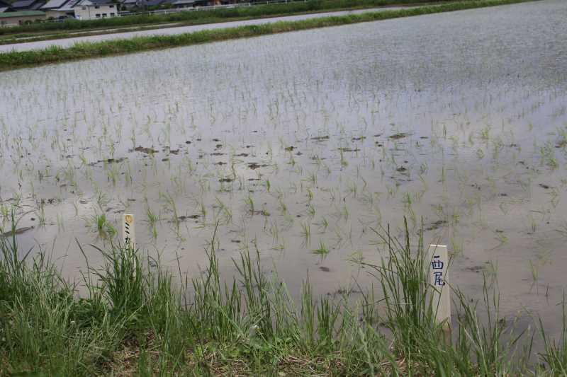 酒米の新しい品種「夢吟香」の田植えをしてきたよ!【純米大吟醸山咲楽づくり】 (9)