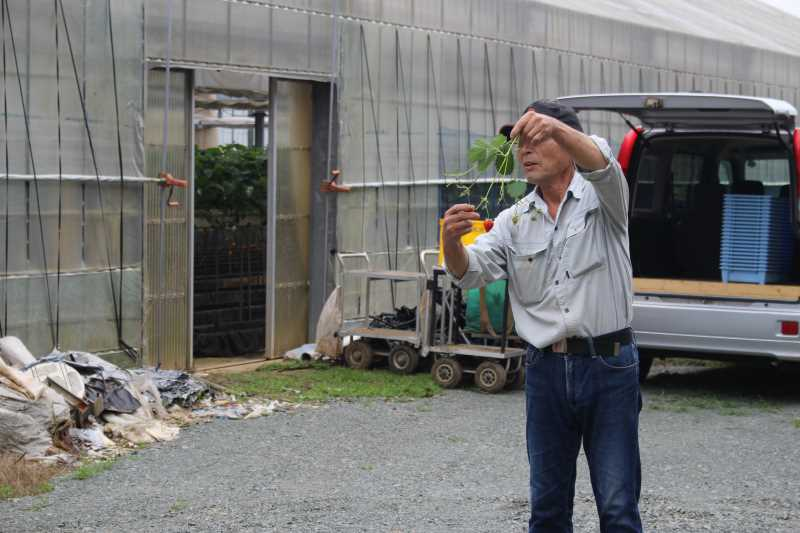 園児のイチゴ狩り体験のお手伝い【愛知県新城設楽4Hクラブ】 (3)