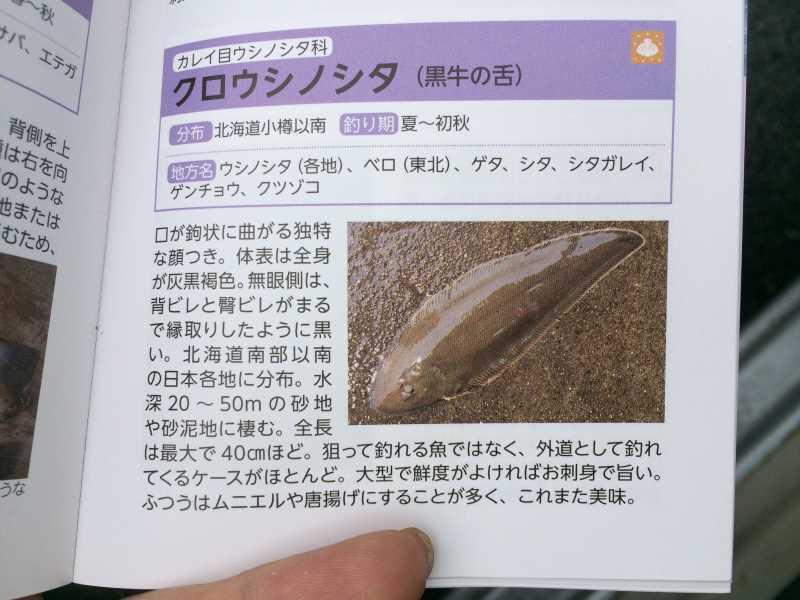 魚突き(スピアフィッシング)をしに福井県越前や三国へ!クロウシノシタ、メジナ、ウミタナゴ獲ったど~! (3)