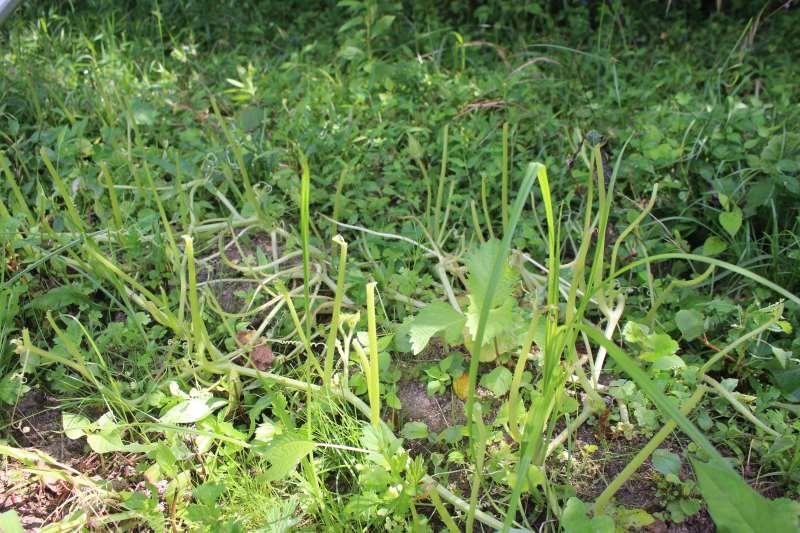 【珍しい野菜栽培】12.ハロウィンカボチャとそうめんカボチャの葉が動物(たぶん鹿)に喰われました (2)
