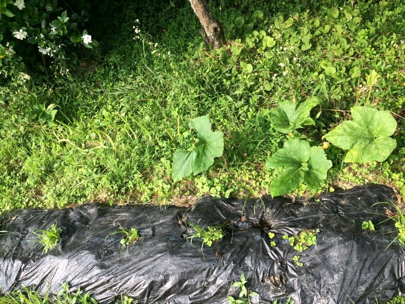 【珍しい野菜栽培】12.ハロウィンカボチャとそうめんカボチャの葉が動物(たぶん鹿)に喰われました (1)