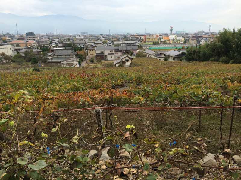 ワインの王様のぶどう品種「ピノ・ノワール」を使う山梨のワイナリーを見学してきたよ! (4)