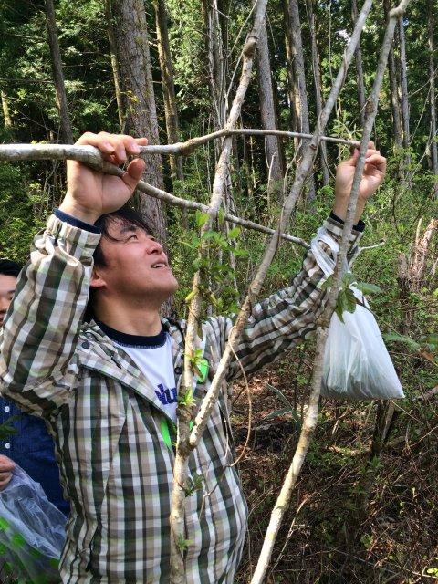 【山菜取り】コシアブラのてんぷらおいしいよ!こごみも苦味がなくて受けが良い。お茶摘みもやったなり! (2)