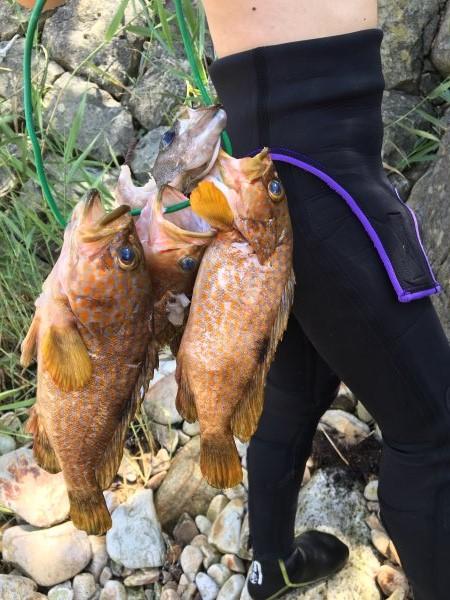 今年も福井で魚突き!キジハタとスズキとカサゴ他いろいろ獲ったど~!!! (1)
